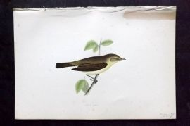 Morris 1870 Antique Bird Print. Chiff Chaff